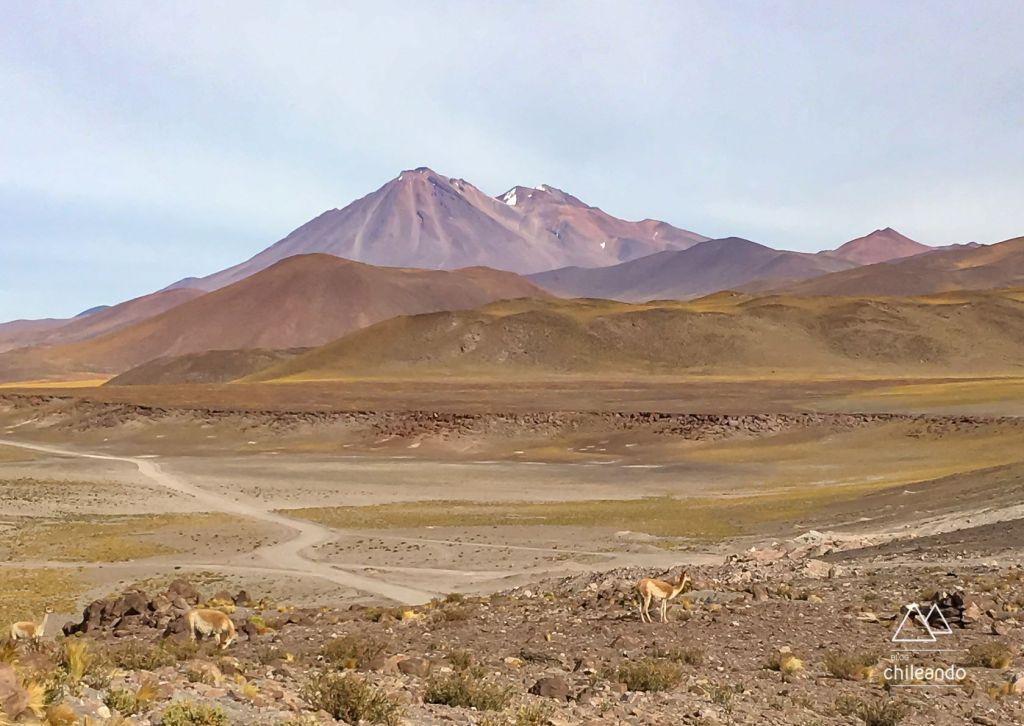 Vicuñas no Atacama