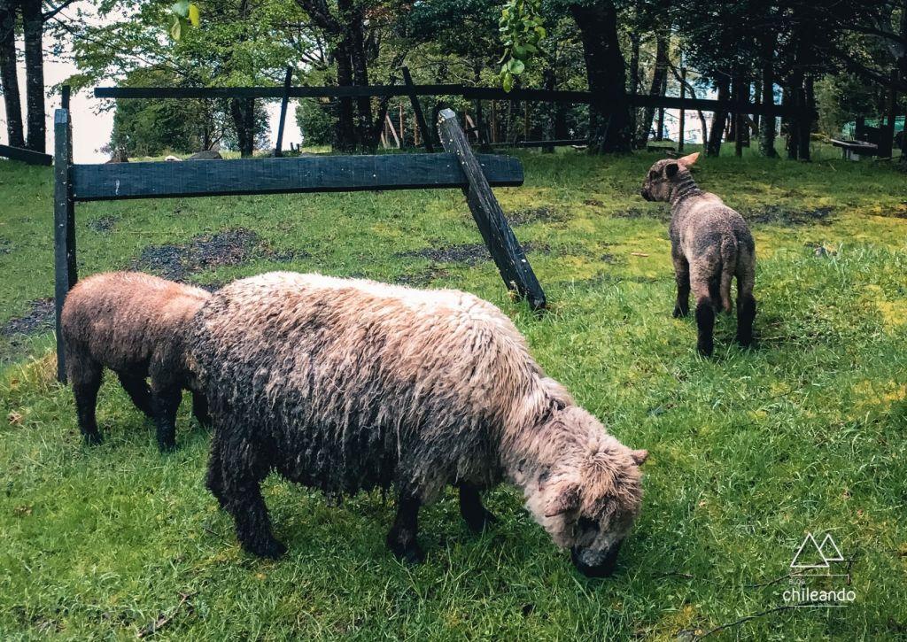 Ovelhas molhadas de chuva, no Huerquehue