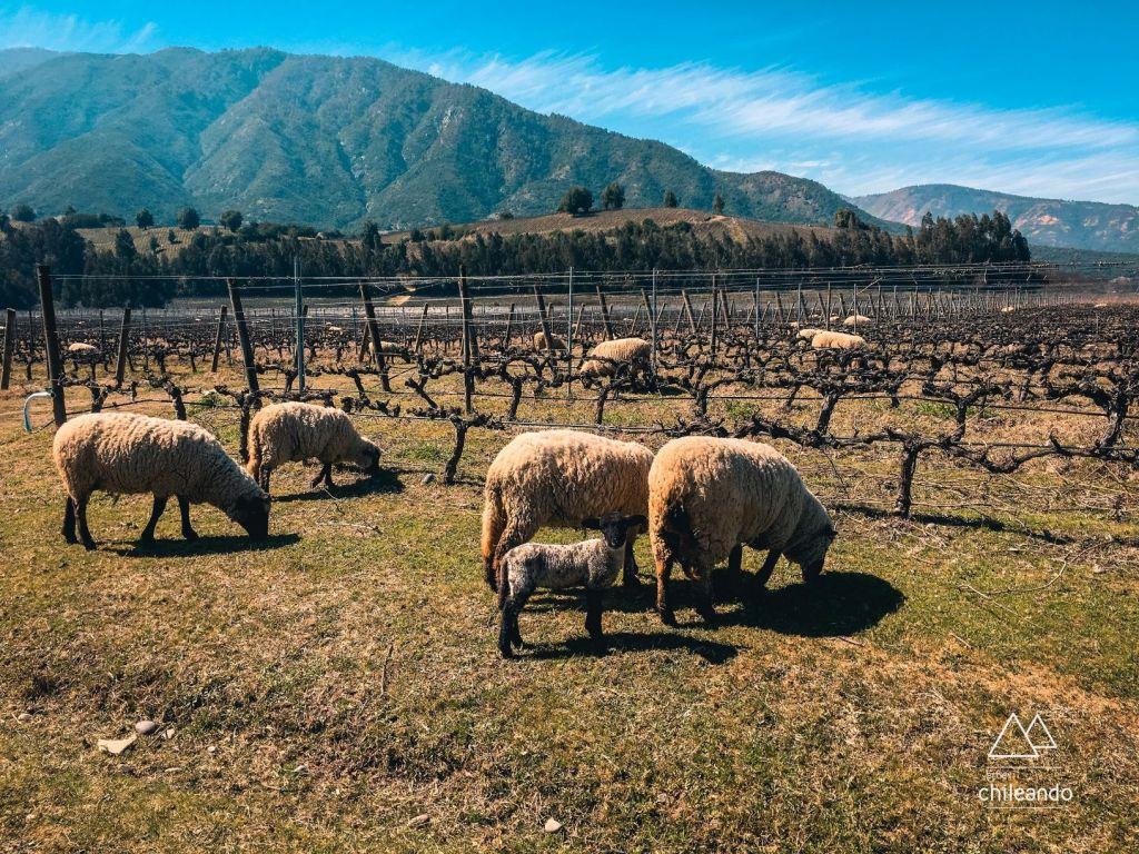 Ovelhas pelo vinhedo da vinícola Las Ninas, em Colchagua