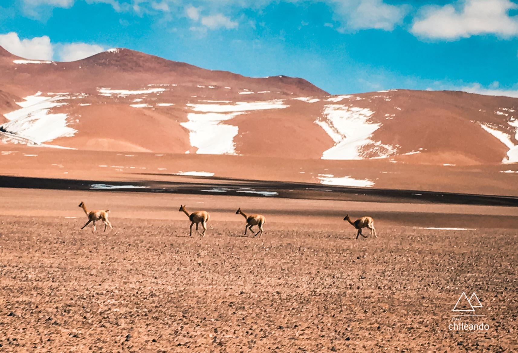 Vida selvagem do deserto de Atacama